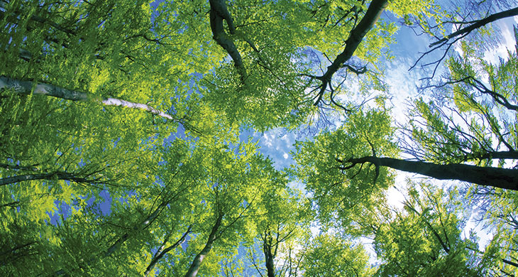Ground up view of tall trees with green foliage.